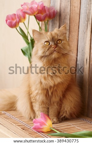 Red cat and pink tulips - stock photo