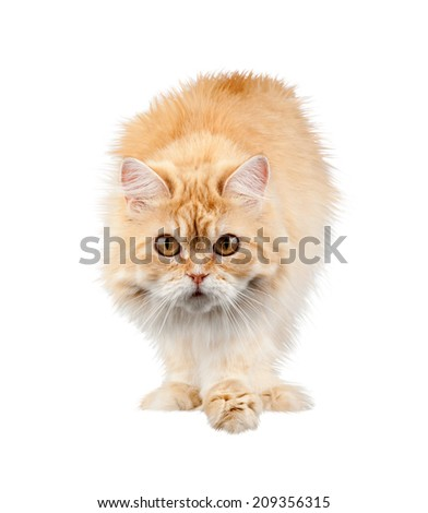 red cat carefully isolated - stock photo