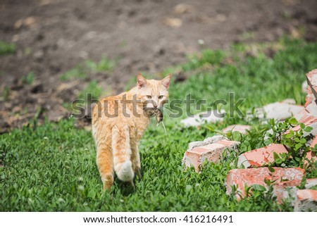 red cat caught the mouse carries in his teeth - stock photo