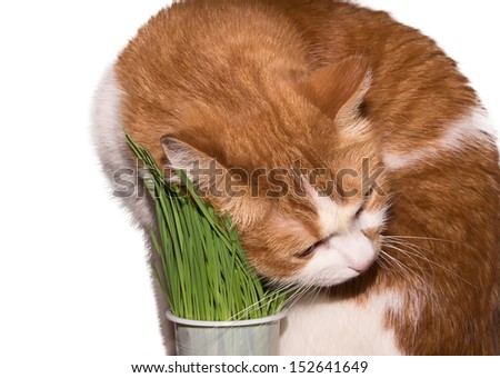 Red cat eating green grass isolated