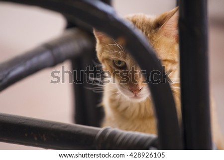 red cat glance ambush. Red cat crouched behind a chair, a sly look that up to something, it looks from under a forehead - stock photo