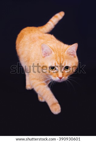Red cat goes in studio on a black background - stock photo