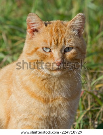 Red cat in grass