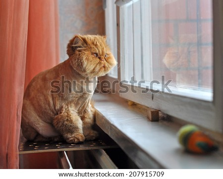 Red cat is sitting next to the window. Cat looking out the window and dreaming. - stock photo