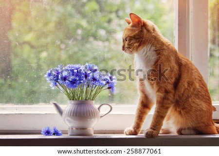 red cat looks at a bouquet of cornflowers - stock photo