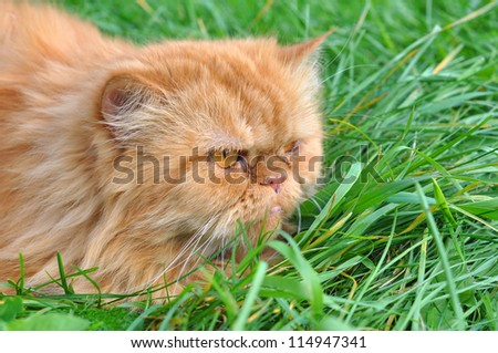 Red cat lying in the green grass