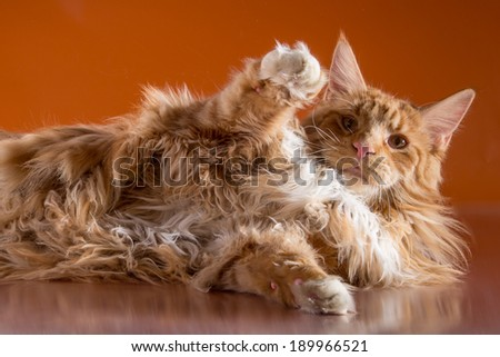 Red Cat Maine Coon - stock photo