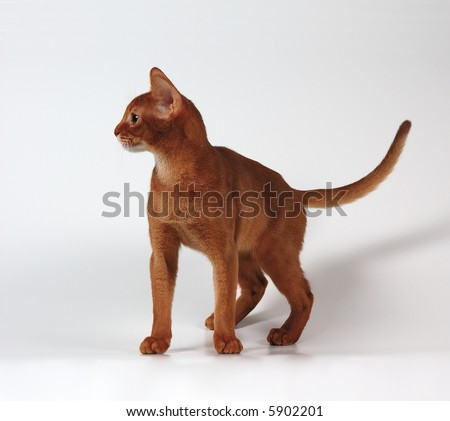 red cat of abyssinian breed - stock photo