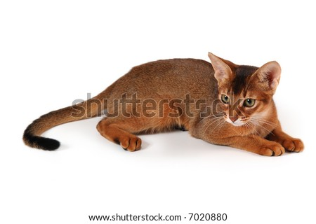 red cat of abyssinian breed