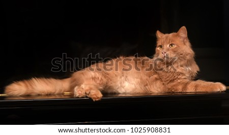 red cat on a black background