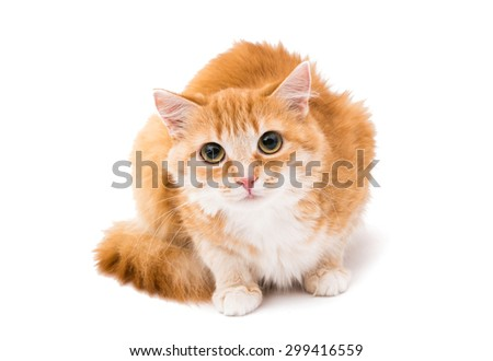 red cat on a white background