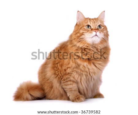 Red cat  on a white background - stock photo
