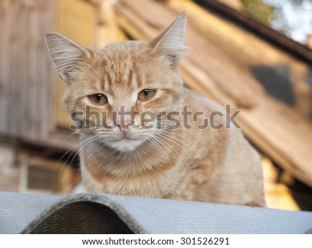 Red cat on the roof.