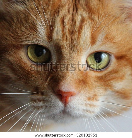 Red cat on the table looking with attentively eyes at camera