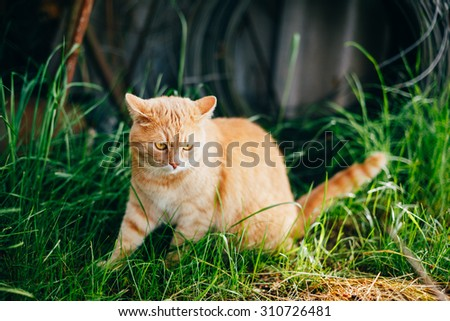Red Cat Sitting On Green Spring Grass In Garden. Outdoor Summer Sunny Day Portrait