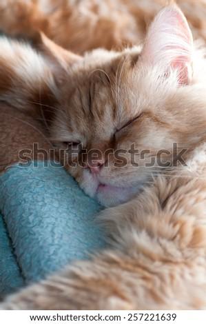 red cat sleeps portrait - stock photo