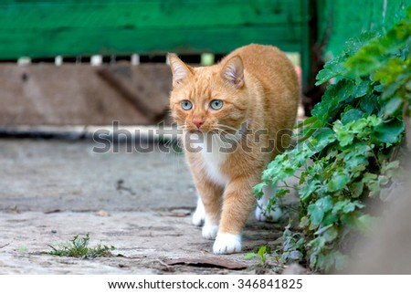 Red cat walks on the farm. Bright background, adult cat. Copy space. - stock photo