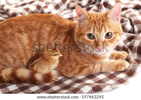 Red cat with cute chicken on plaid close up - stock photo