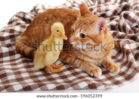 Red cat with cute duckling on plaid close up - stock photo