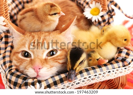 Red cat with cute ducklings and chickens in basket close up - stock photo