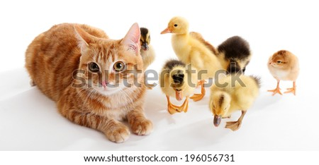 Red cat with cute ducklings on white background - stock photo