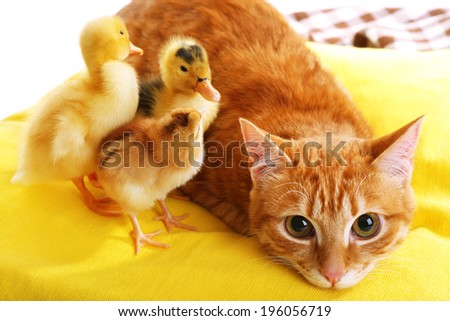 Red cat with cute ducklings on yellow pillow close up - stock photo
