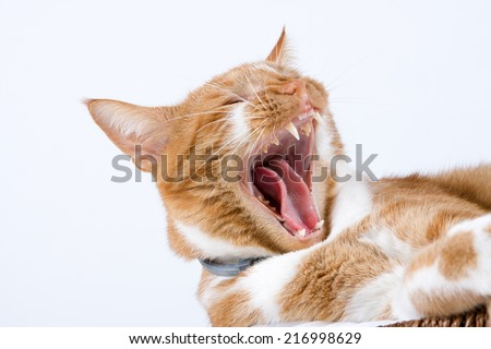 red cat with open mouth, yawning