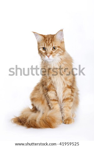 Red Cat, Young Maine Coon