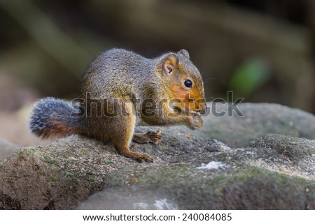 Red-cheeked squirrels (genus Dremomys) in nature at Meawong national park,Thailand - stock photo