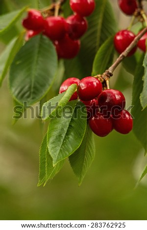 red cherries growing on a tree with shallow depth of field - stock photo