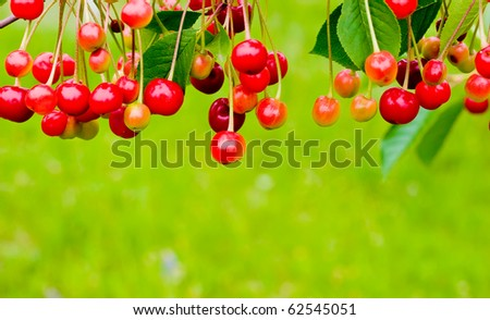 Red cherries on a tree branch over green background - stock photo