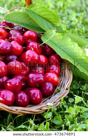 Red cherries with green leaves in basket