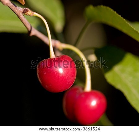 Red cherry on tree - macro