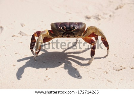 Red Chicken Crab on the beach of Tachai Island, Similan Islands National Park, Phang Nga, Thailand