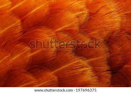Red Chicken Feathers Macro - stock photo