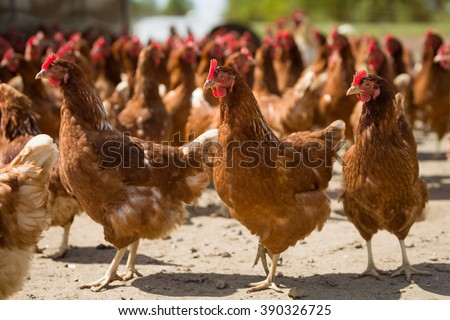 Red chickens on a farm in nature. Hens in a free range farm. Chickens walking in the farm yard. - stock photo