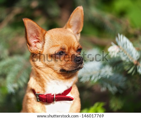Red chihuahua dog on garden background. Selective focus. - stock photo