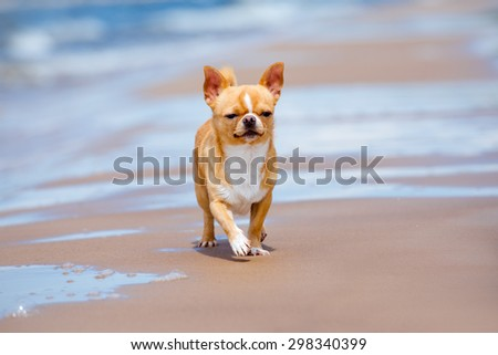 red chihuahua dog on the beach - stock photo