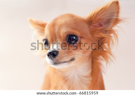 Red chihuahua dog portrait close-up on neutral background - stock photo