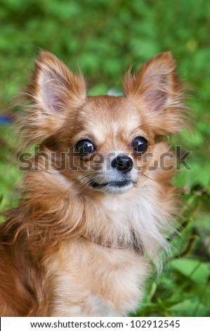 red chihuahua dog portrait on a natural background - stock photo