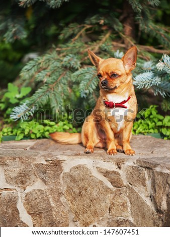 Red chihuahua dog sits on a granite pedestal. - stock photo