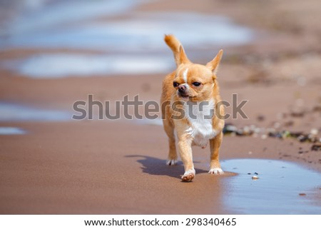 red chihuahua dog walking on the beach - stock photo