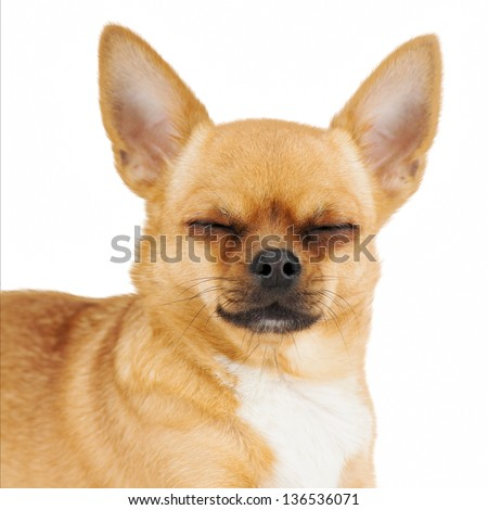 Red chihuahua dog with closed eyes isolated on white background.