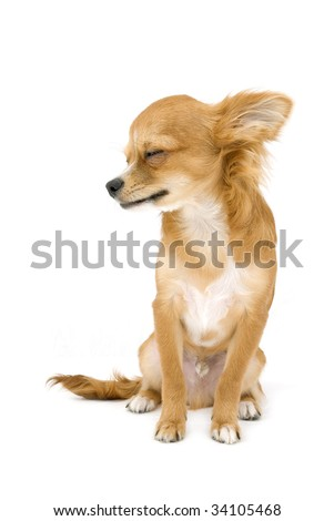 red chihuahua profile portrait with closed eyes isolated on white - stock photo