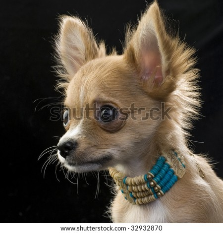 red chihuahua puppy with a necklace portrait