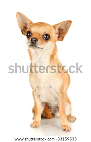 Red chihuahua sitting and looking isolated on white background - stock photo