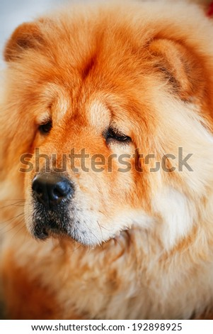 Red Chines chow chow (chow-chow) dog close up portrait - stock photo