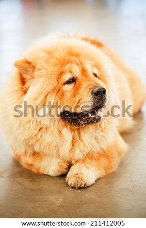 Red Chines chow chow dog close up portrait - stock photo