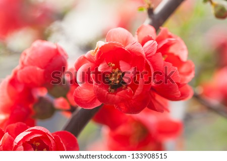 red Chinese flowering apple blooming in the spring,scientific name:Malus spectabilis - stock photo