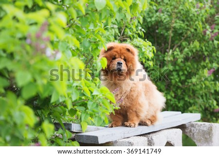 red chow chow dog on a bench